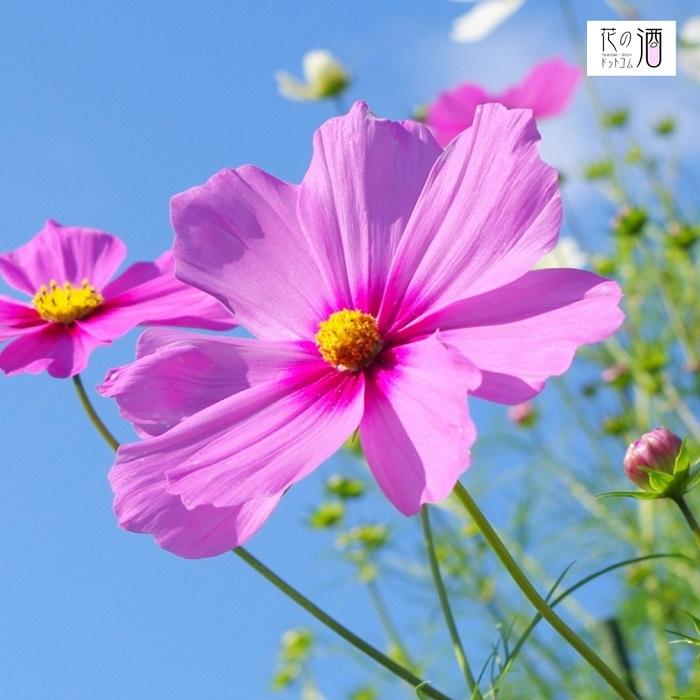 コスモスの花言葉 乙女の心 乙女の恋 純心 謙虚 調和