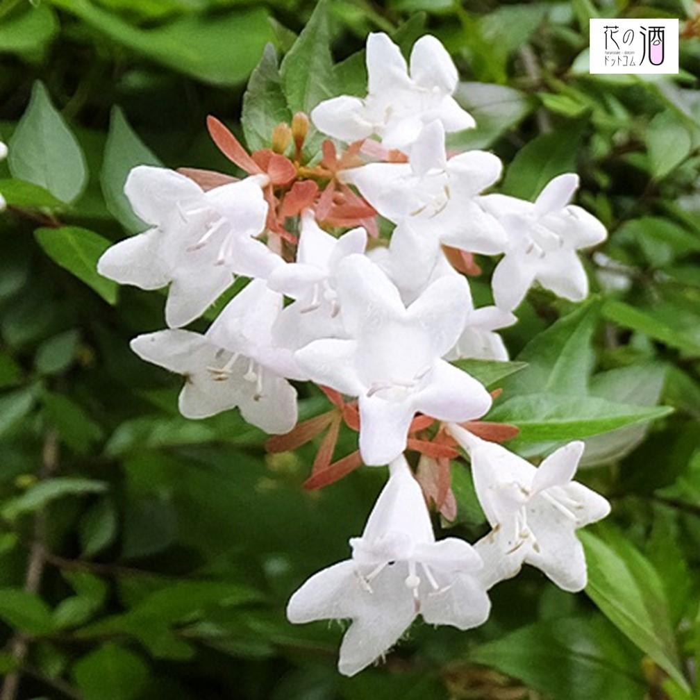 アベリアの花(イメージ)