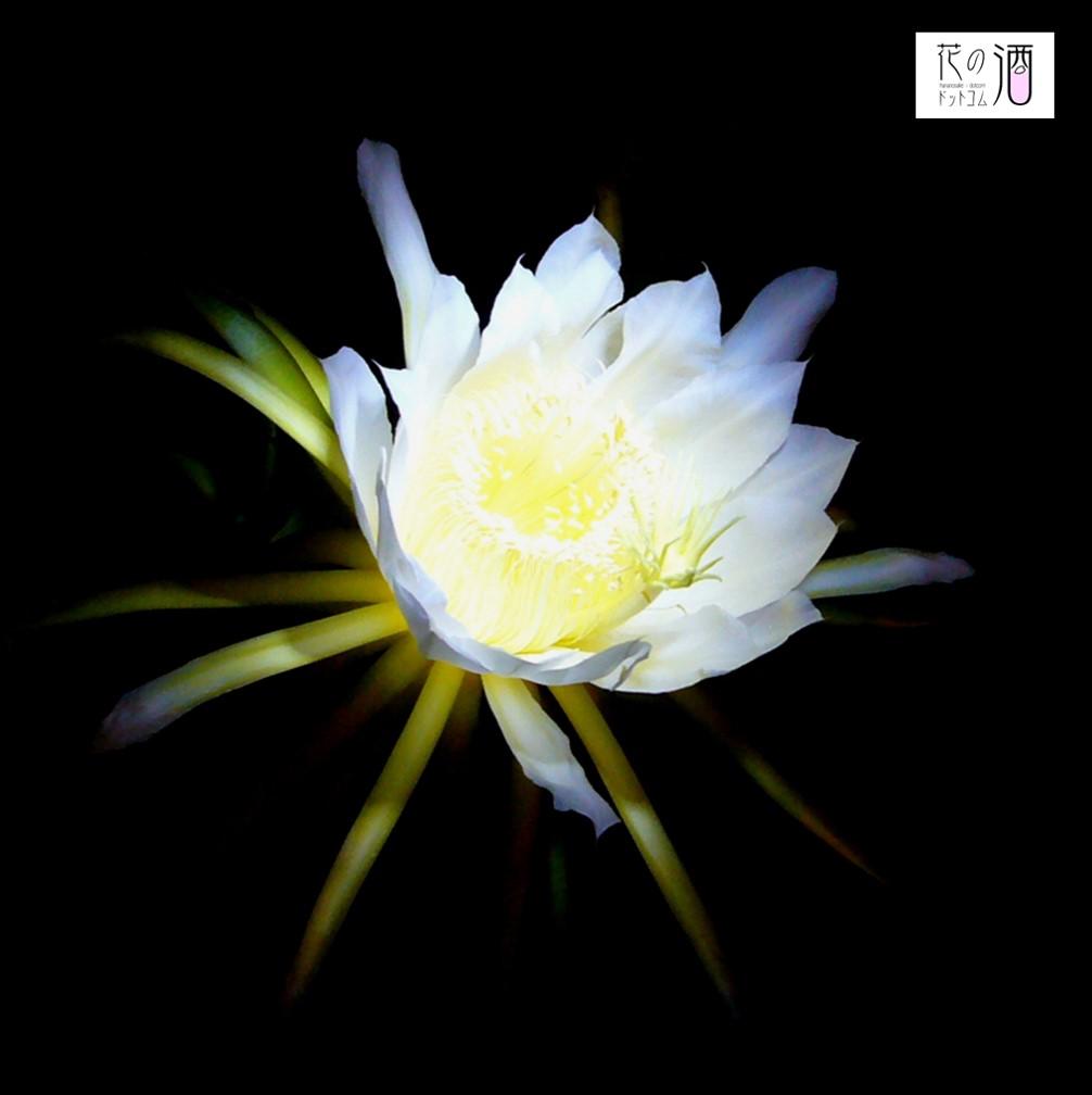 月下美人の花酵母