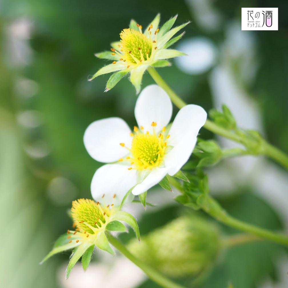 イチゴの花(イメージ)