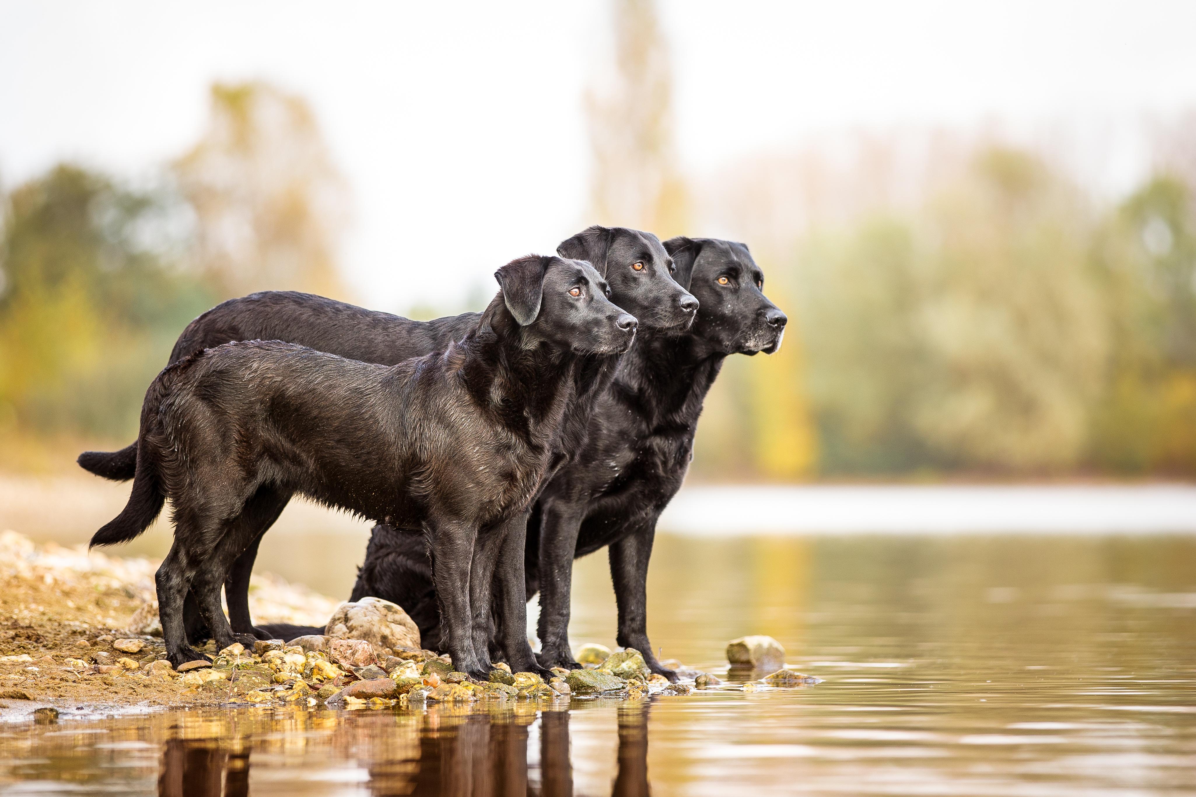 Wir Zuchten Field Trial Golden Und Labrador Retriever Im Deutschen Retriever Club E V Drc Unter Dem International Geschutztem Zwingernamen Gundog S Choice Gundog Jagd Hund Ltd