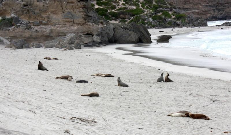 Les lions de mer à la sieste