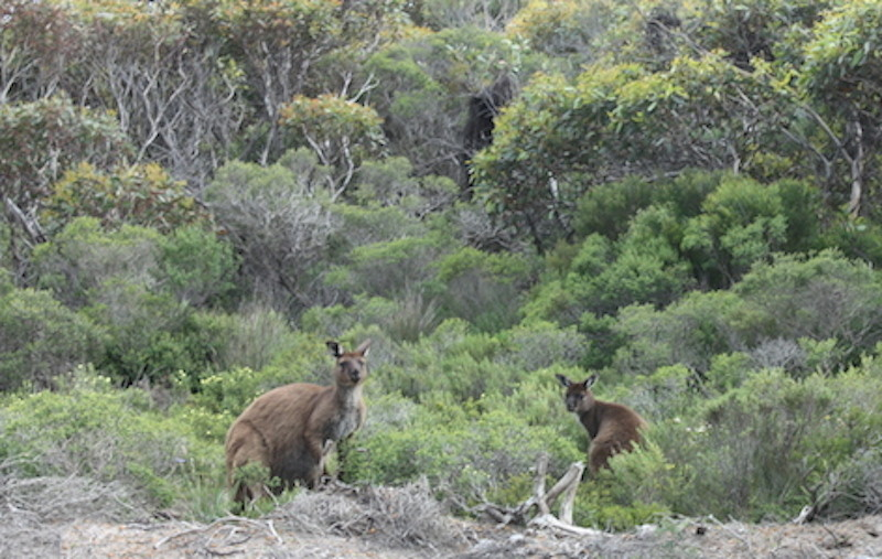 Rencontre avec les kangourous