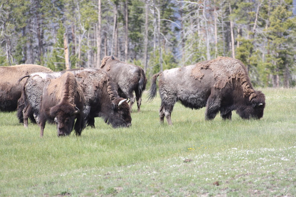 YELLOWSTONE : troupeau de bisons sauvages en liberté