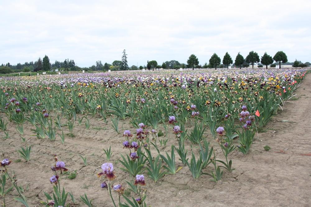 PÉPINIÈRE SCHREINER : la plus grande pépinière mondiale de production d'iris. Plusieurs centaines d'hectares.