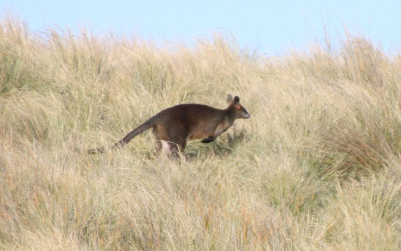 Kangourou en liberté