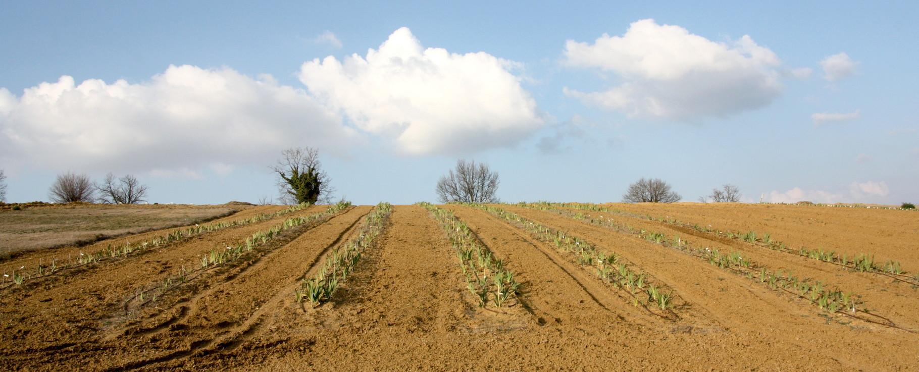 Semis des croisements réalisés en 2013 chez Barry Blyth pour la moitié et semis 2014 pour l'autre moitié