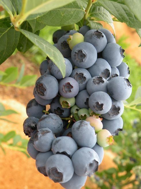 die reifen Trauben warten auf die Ernte