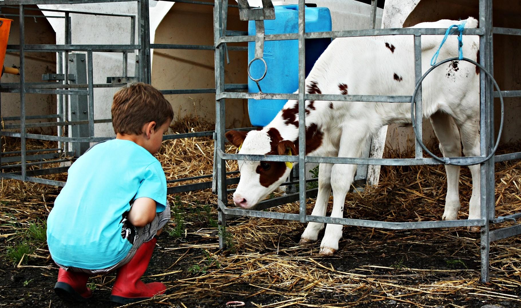 Kälbchen füttern Bauernhofurlaub NRW