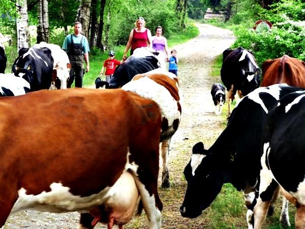 Kühe treiben Ferien auf dem Bauernhof Eifel