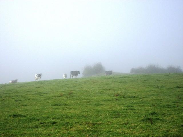 Bauernhofurlaub eifel-Kühe im Nebel