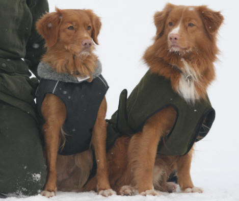 Nova Scotia Duck Tolling Retriever Mariendals Red  Nose Turbo Kiara und Lönnlövets Snoddas