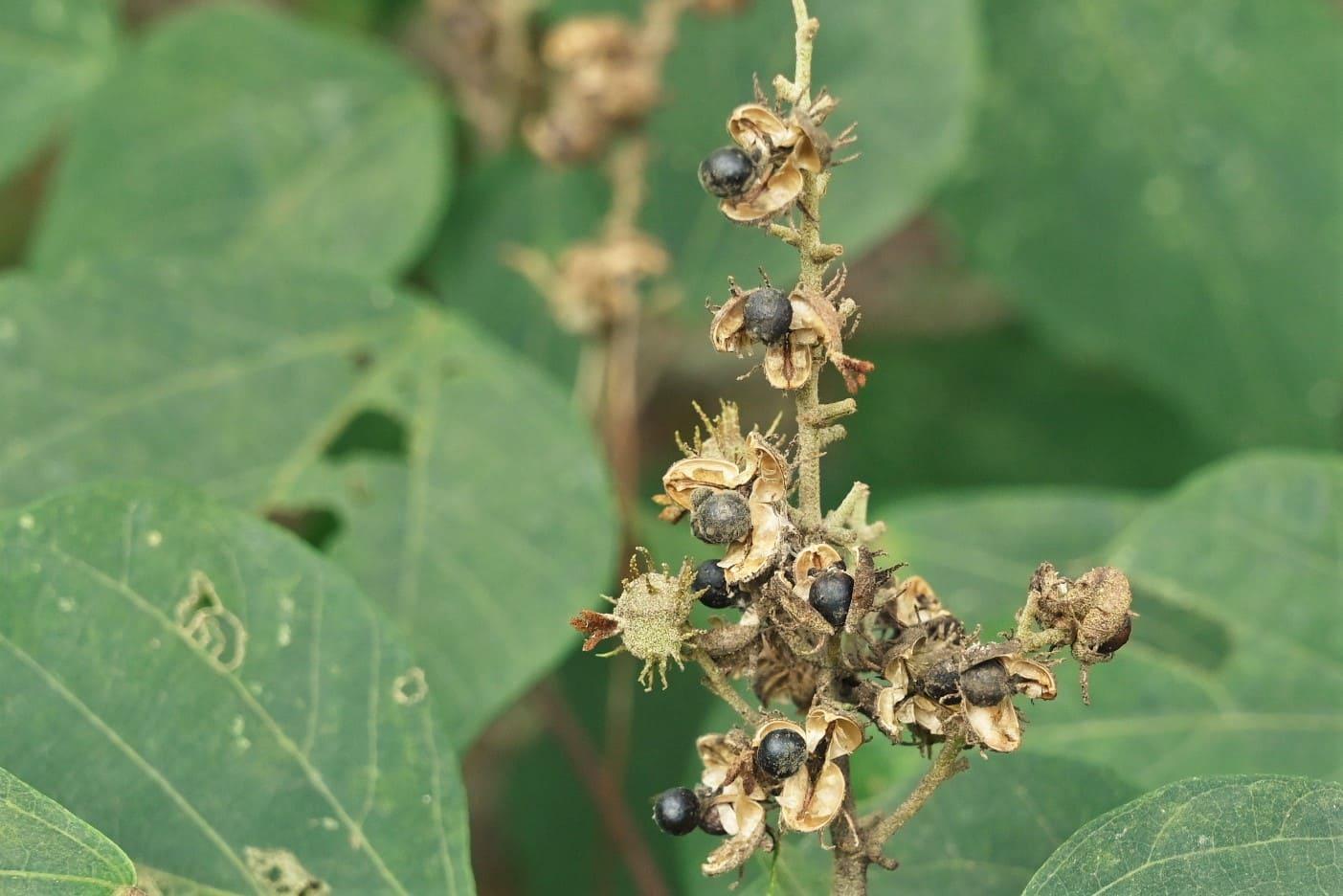 seeds,Japanese Mallotus