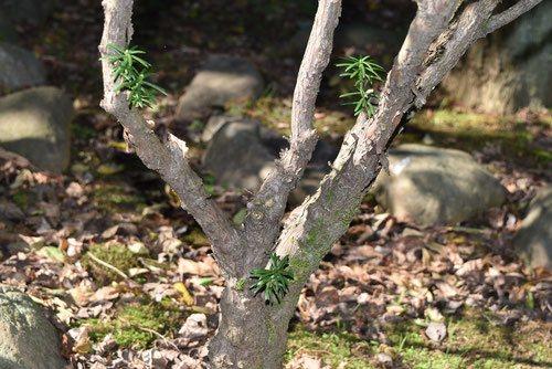 チョウセンマキ 植木