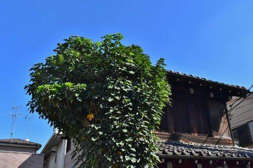 カクレミノ 庭木