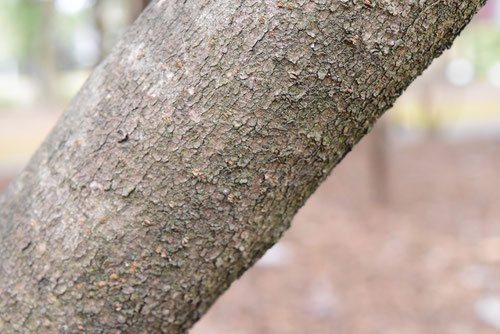 オオカメノキ 樹木図鑑