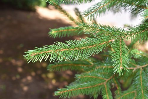 Norway spruce.needle leaf,picture