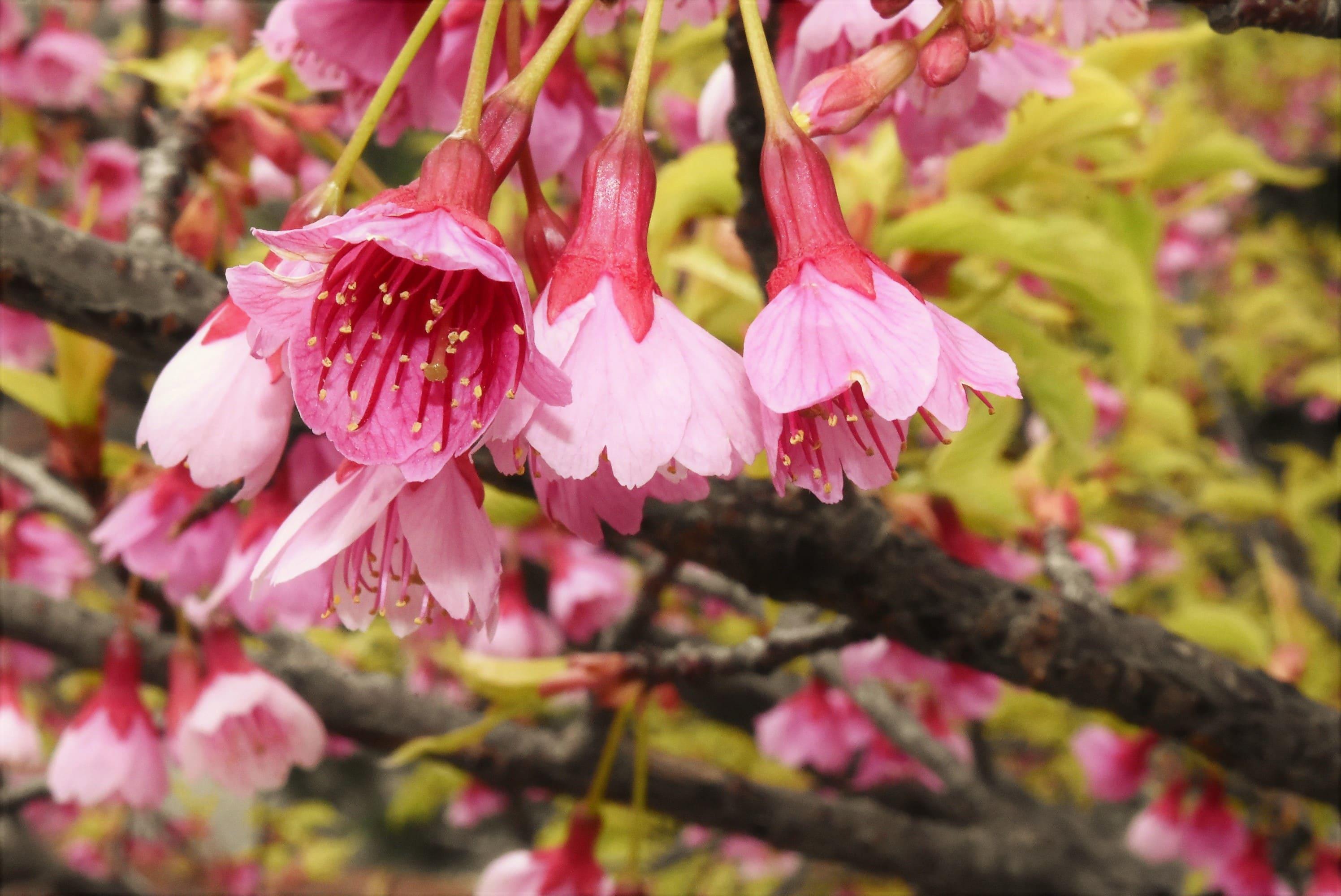 寒緋桜と緋寒桜