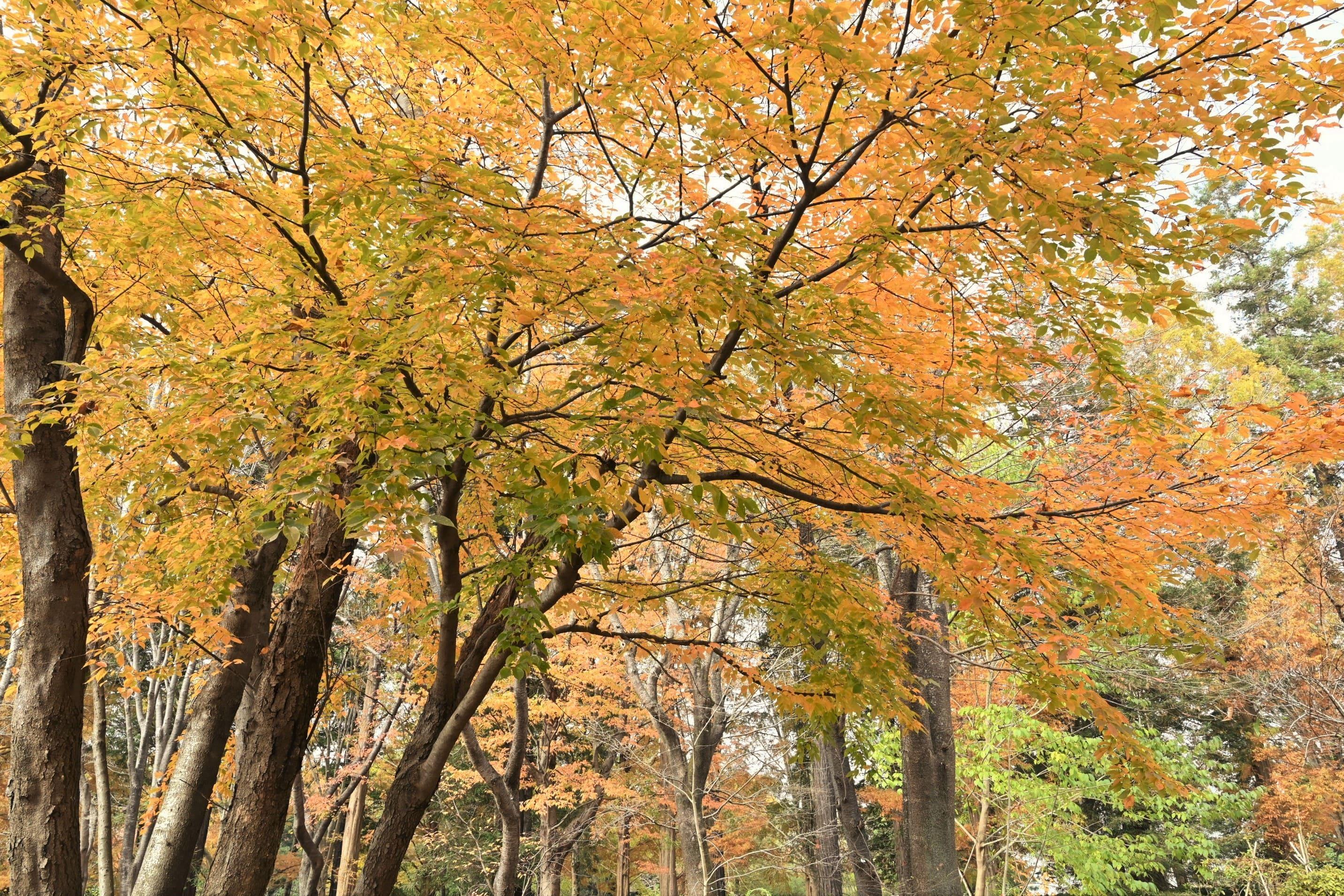 ウワミズザクラ,紅葉,黄葉