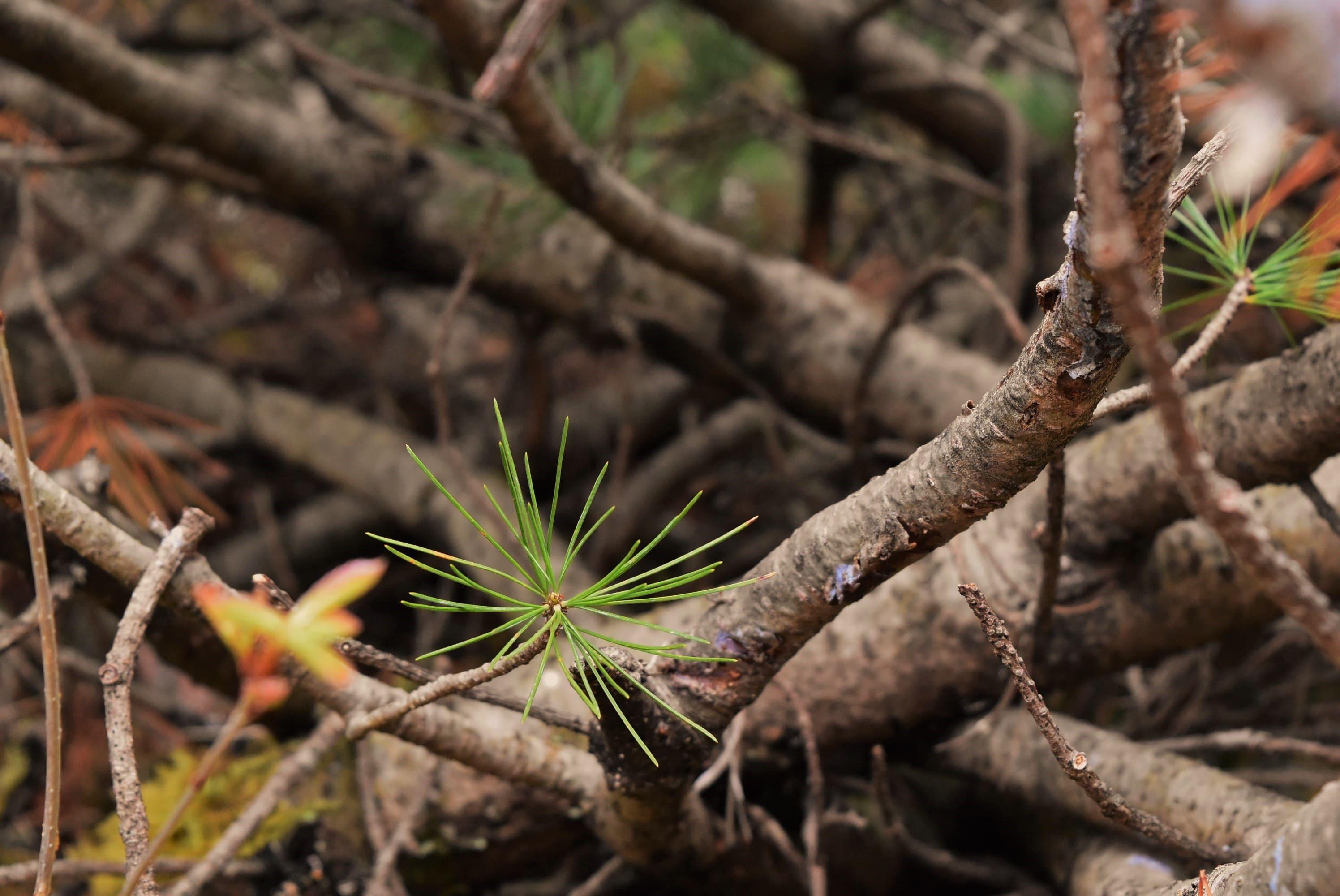ハイマツの幹 庭木図鑑 画像