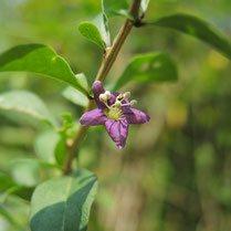 紫色の花が咲く樹木