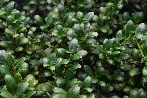 豆つげ 植木