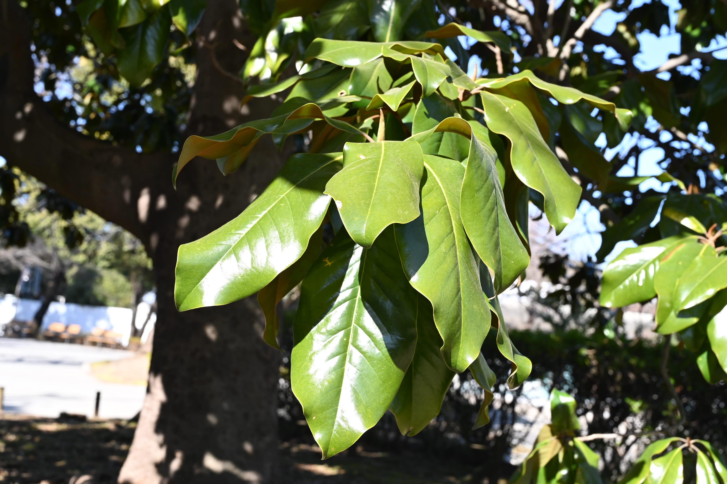 タイサンボクの葉っぱ 画像