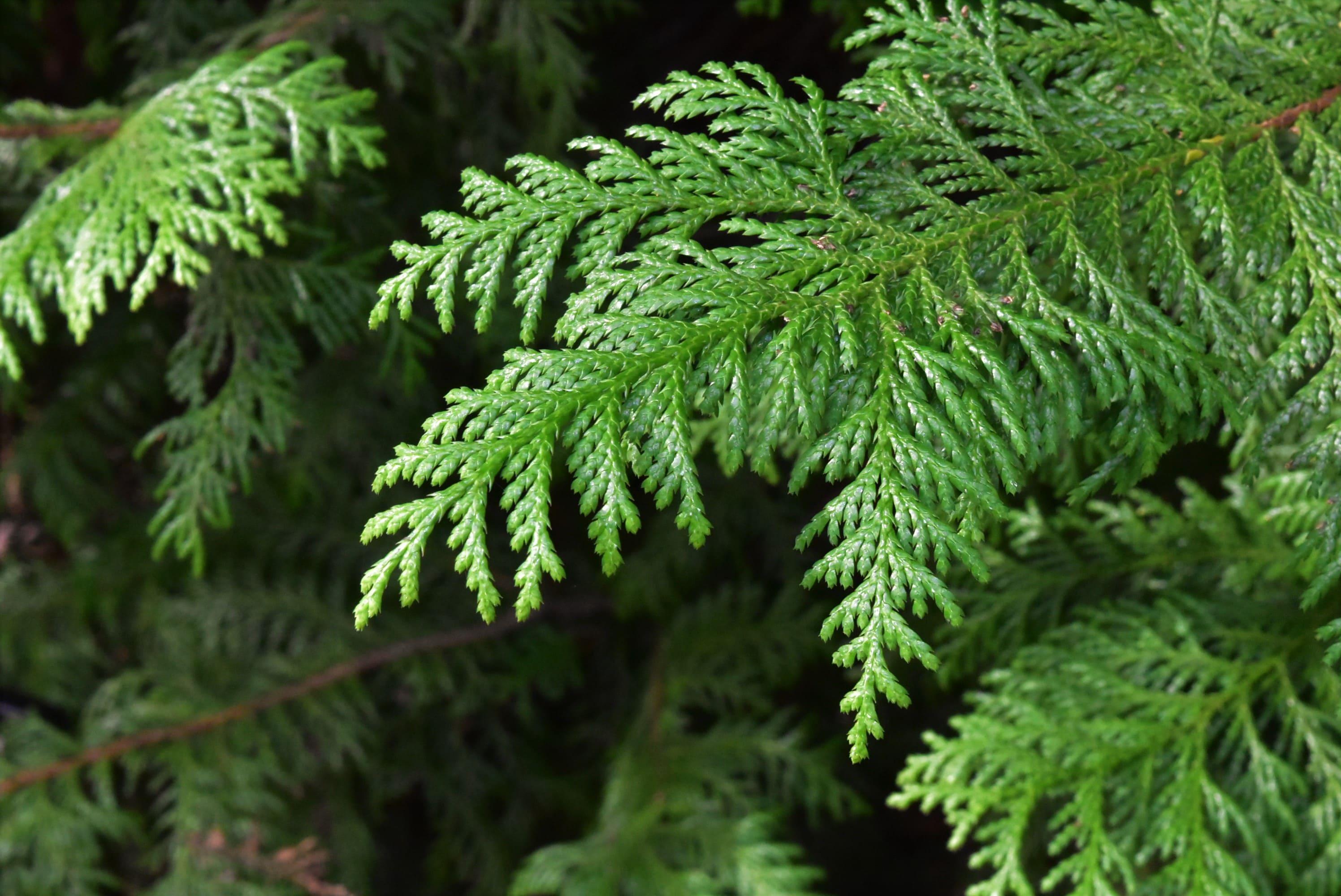 サワラ 樹木 葉