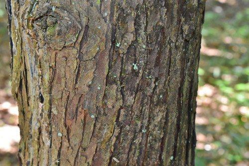 翌檜,樹木図鑑