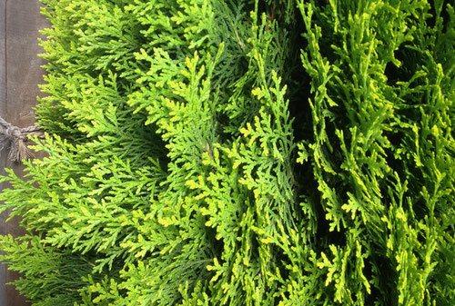 コノテガシワ,このてがしわ,木,種類