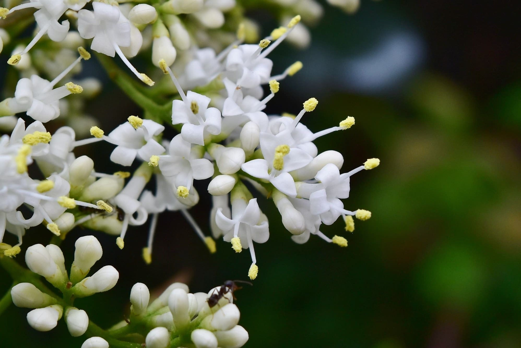flower of Japanese privet