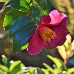 山茶花の品種 画像