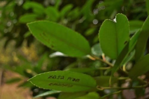 葉書の木 落書き
