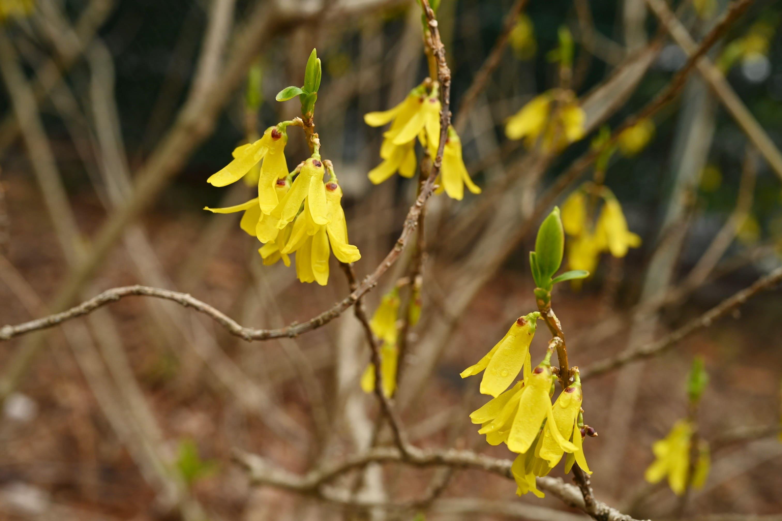 Golden bell flowers in Japan