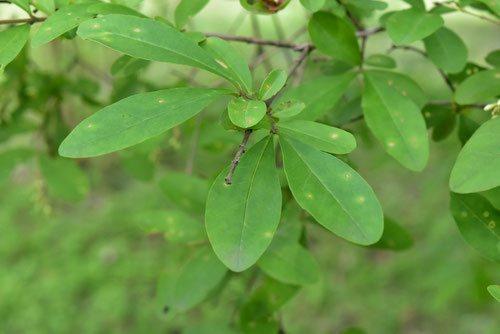 イボタノキ,いぼたのき,葉っぱ