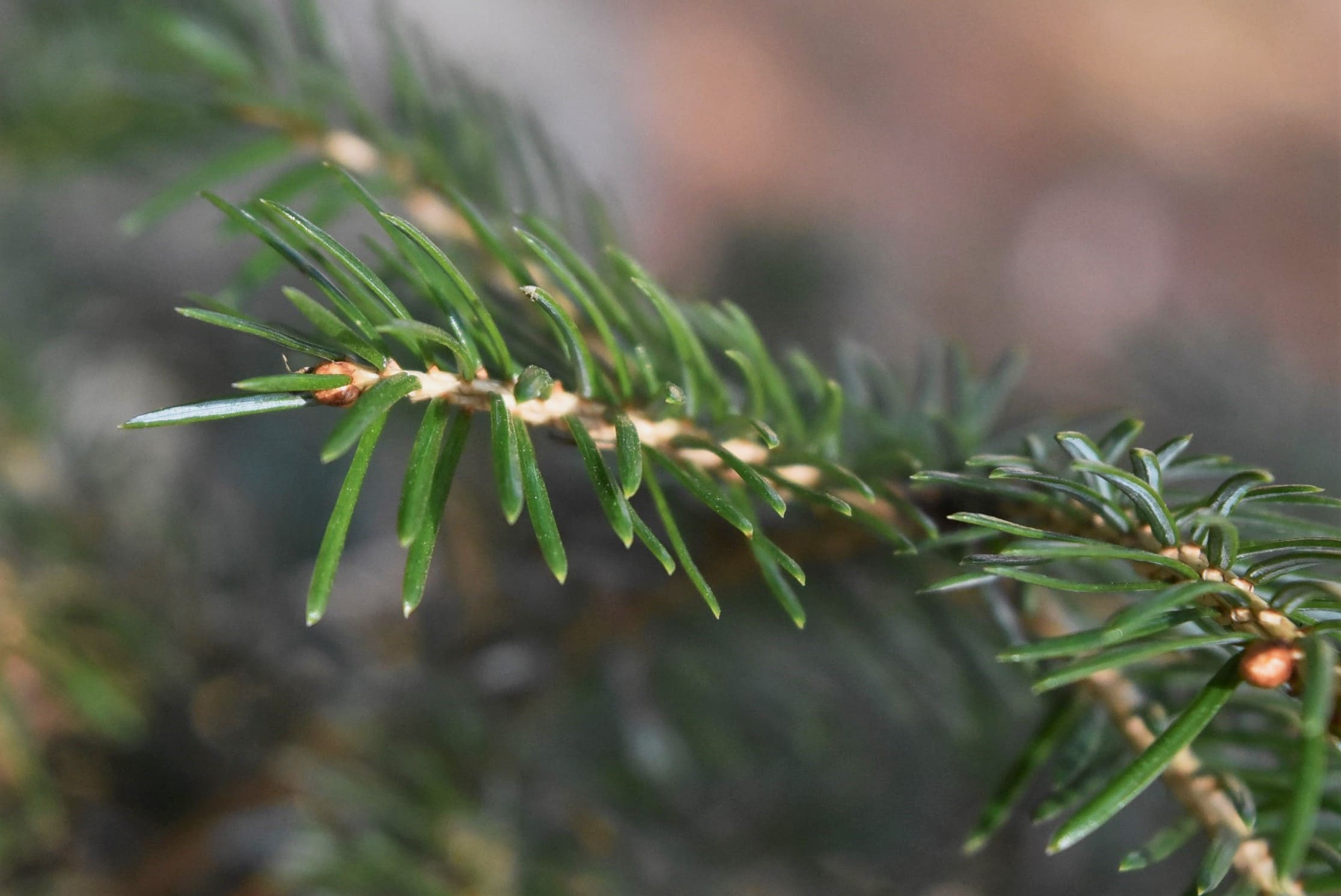 leaves of Japanese spruce
