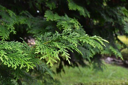 Japanese cypress, Hinoki