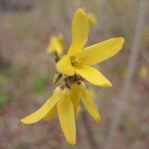 黄色い花の咲く低い木
