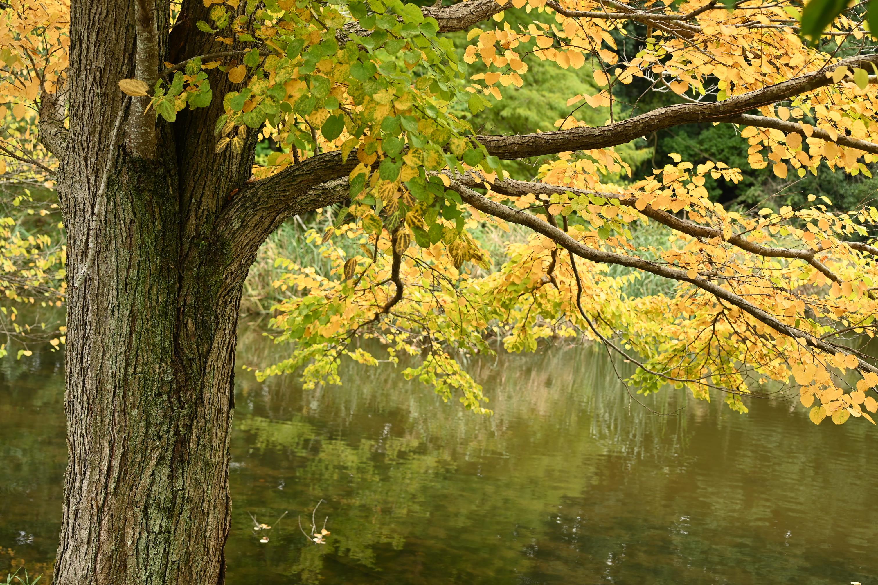 カツラの木,樹木図鑑