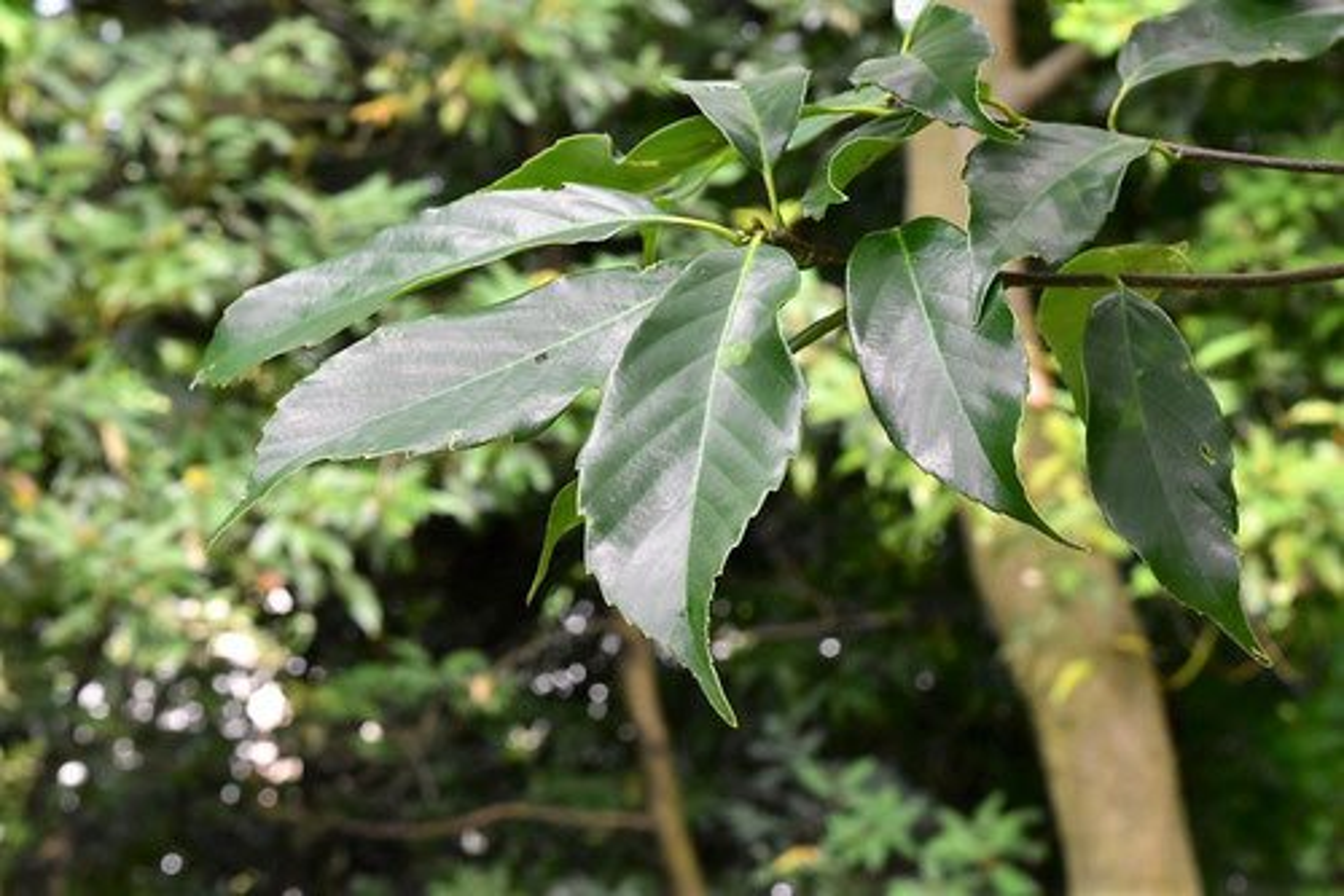 アラカシ 樹木
