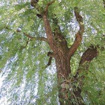 成長が早い樹木