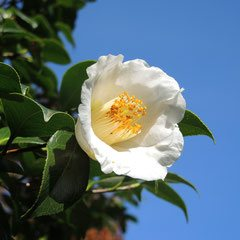 variety of camellia