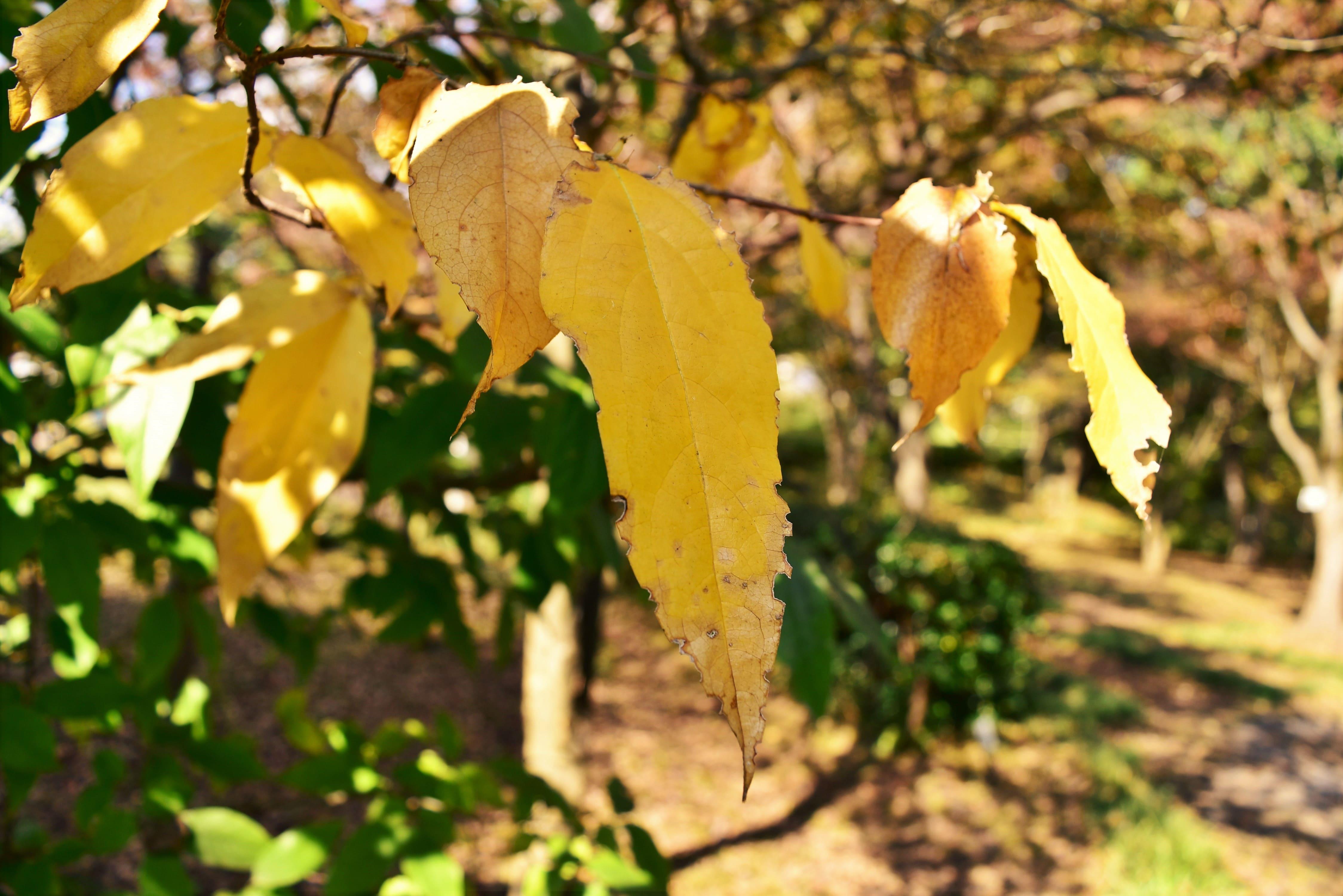 蝋梅の紅葉 黄葉