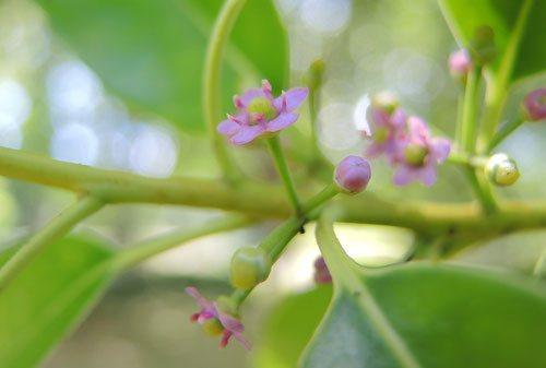 開花時期 ナナメノキ