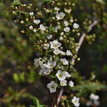 木の名前 白い花