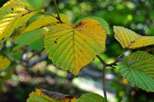 おおでまり,紅葉,庭木図鑑