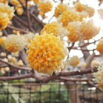 黄色い花が咲く樹木