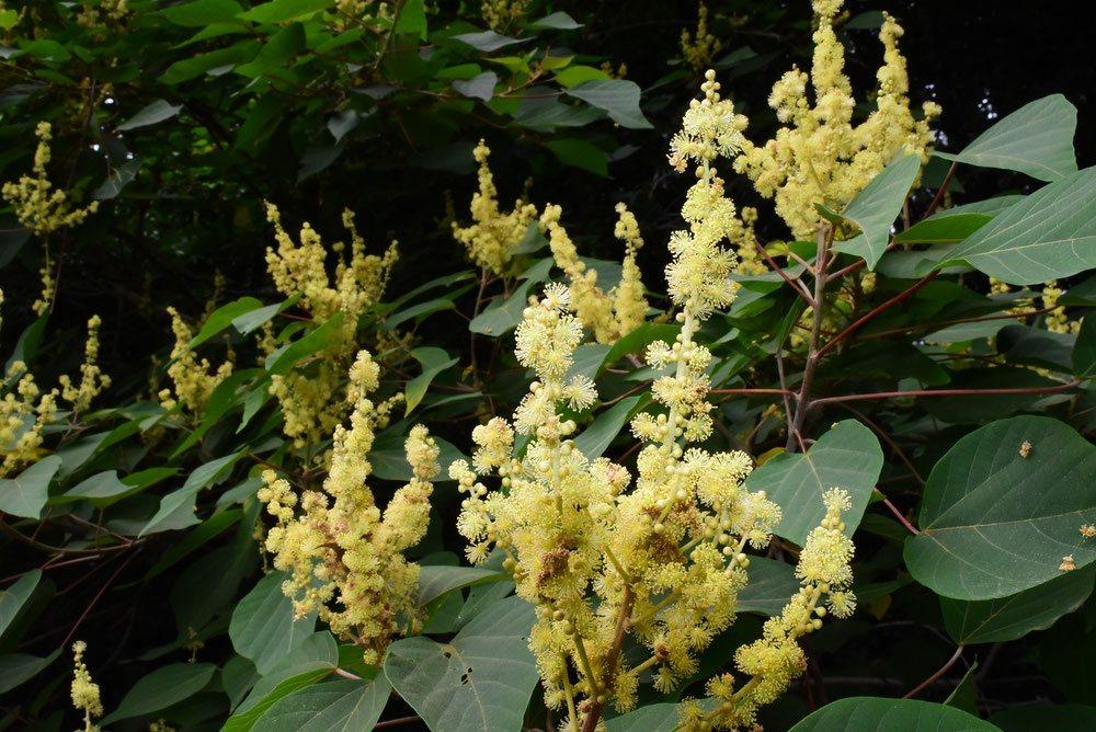 Japanese Mallotus,flower