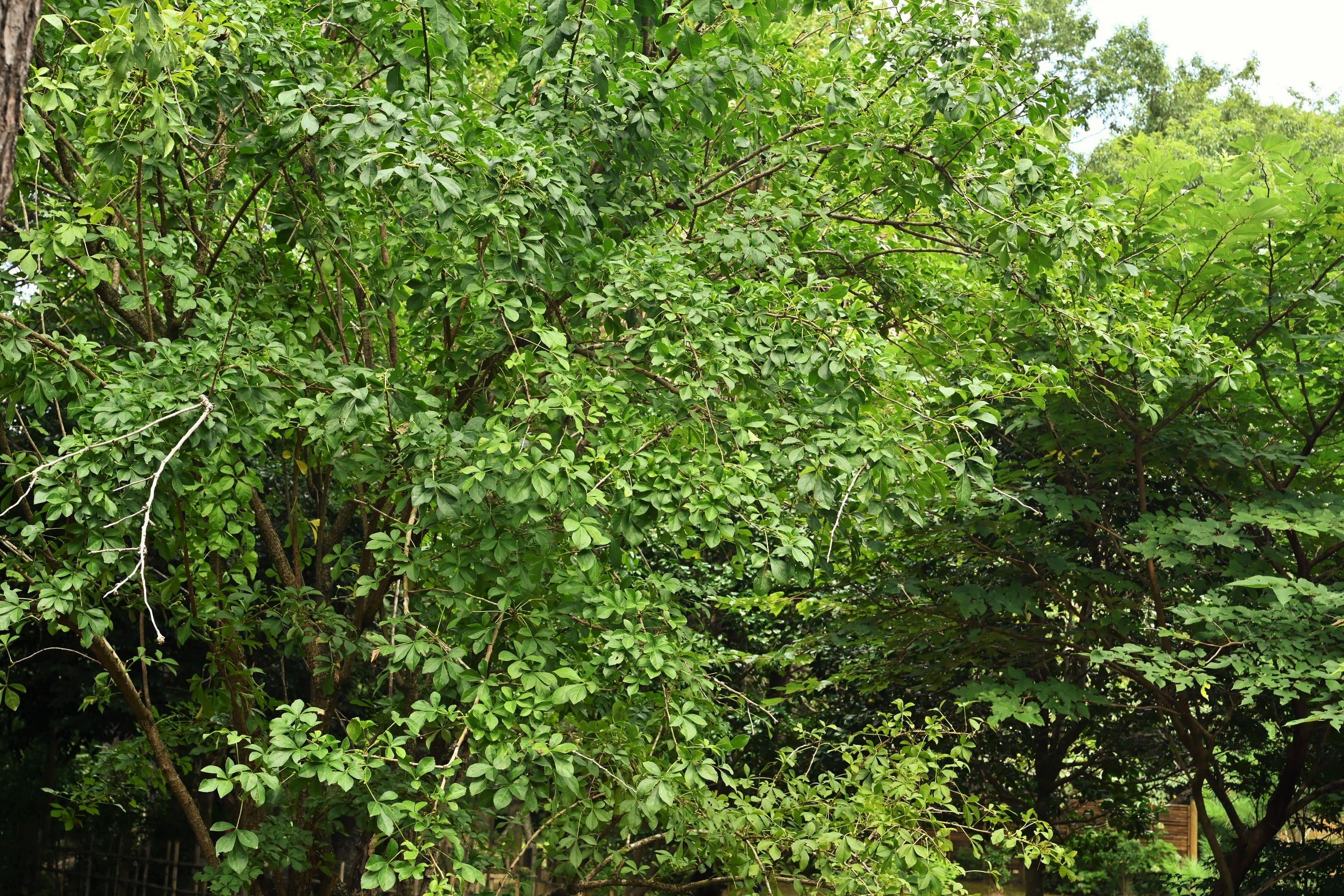 ヤマウコギ,山,植木