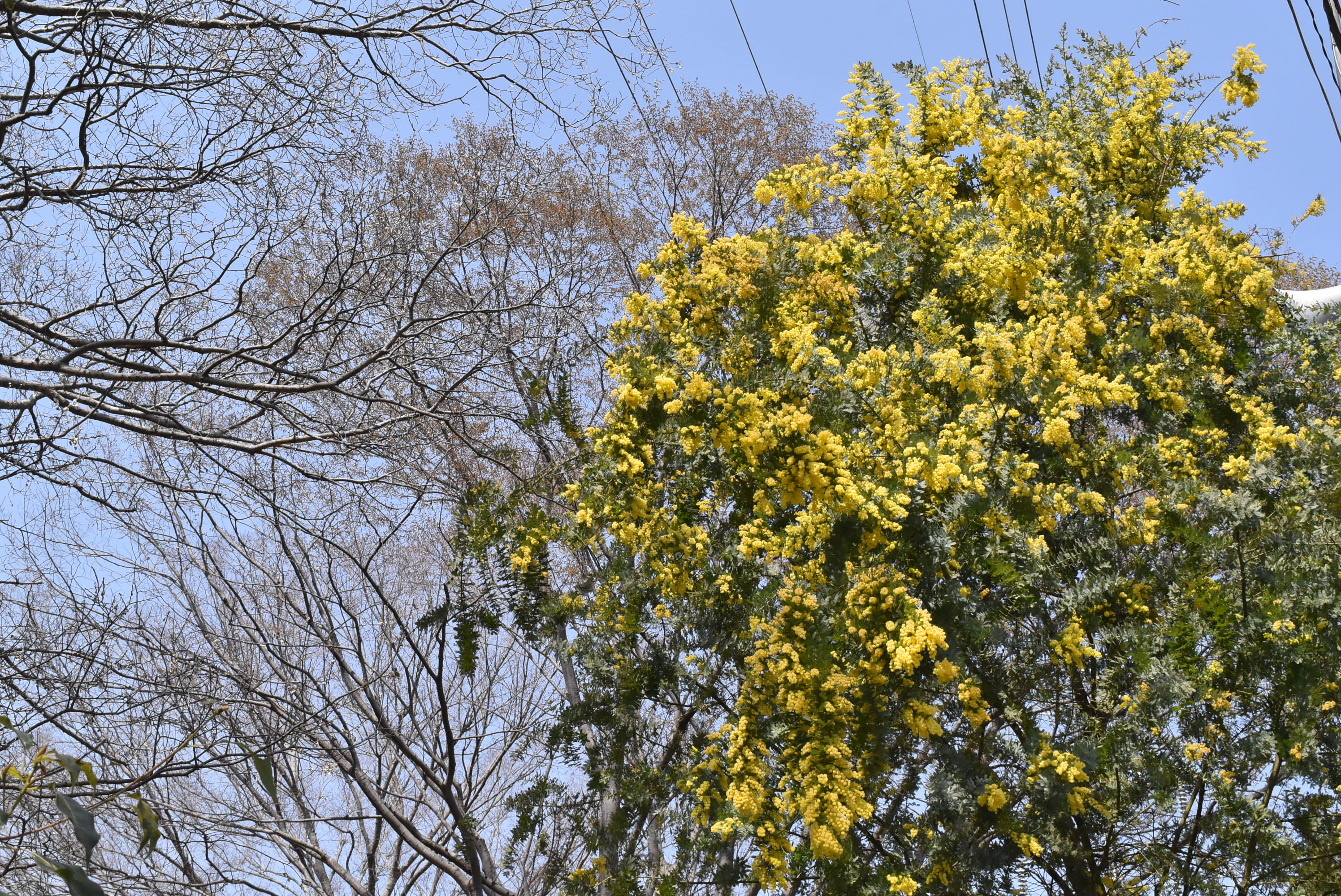 wattle in Japan